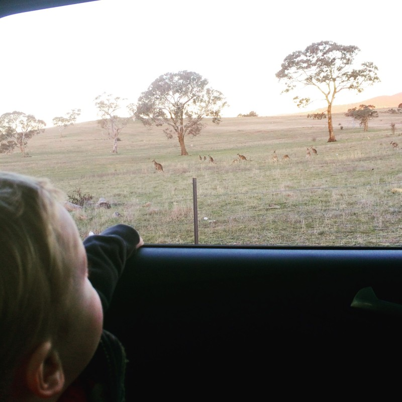 watching roos in the Kuga