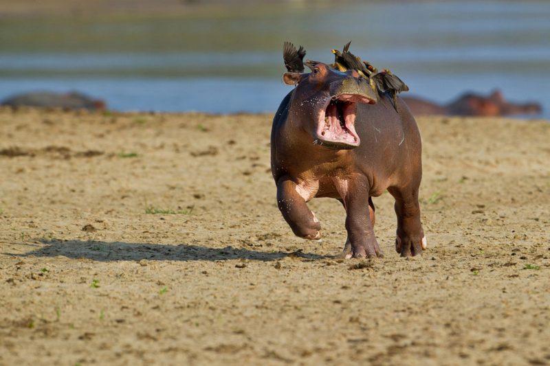 claustrophobic hippo needs space